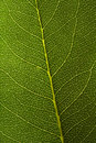 Green Leaf Texture Stock Image - 3378221