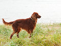 Hunting Irish Setter Standing In The Grass. Stock Photography - 33715872