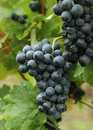 Grape Royalty Free Stock Images - 33724869