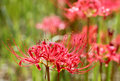Red Spider Lily Stock Photos - 33736193