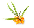 Buckthorn Cluster Royalty Free Stock Images - 33739299