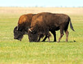 Bison Stock Images - 33745554