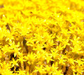Background Yellow Flower Moss Royalty Free Stock Photos - 33747538