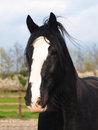 Shire Horse Head Shot Stock Images - 33756914