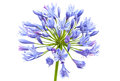 Bright Blue Agapanthus Flower Stock Image - 33768541