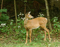 Fawn 2 Royalty Free Stock Photography - 3383537