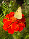Cabbage Butterfly On Flower Stock Photos - 3388733