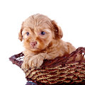 Portrait Of A Small Puppy Of A Decorative Doggie In A Wattled Basket. Stock Photography - 33823482