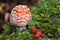 Fly-agaric In Forest With Little Green Mushrooms And Red Berry Royalty Free Stock Photography - 33830957