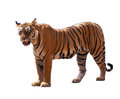 Bengal Tiger Stock Images - 33839204