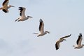 Interesting Formation Of Great Pelicans Royalty Free Stock Photo - 33887395