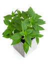 Fresh Mint In A Pot Royalty Free Stock Photo - 33890305