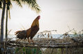 Rooster Crowing In The Morning Royalty Free Stock Image - 33906316