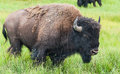 American Bison In The Yellowstone National Park Royalty Free Stock Photos - 33953808