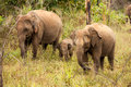 A Small Elephant Calf Is Hiding Behind Its Mother In Yala Nation Royalty Free Stock Photography - 33962667