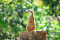 Meerkats Stand Alone On The Rock Royalty Free Stock Images - 33981779