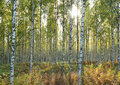Birchwood In Sun Beams In The Early Fall. Royalty Free Stock Photography - 33985757