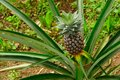 Fresh Pineapple In A Tree Royalty Free Stock Images - 33991719