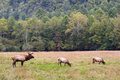 Male And Female Elk Stock Image - 3408641