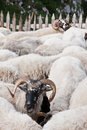 Sheep Stock Photography - 34019472