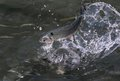 Rainbow Trout On Water Royalty Free Stock Image - 34020566