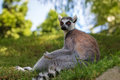 Are Ring Tailed Lemurs Royalty Free Stock Image - 34043456