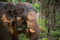 Elephant Eating In The Jungle. Thailand, South East Asia.  Royalty Free Stock Photography - 34045197