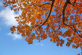 Golden Maple Leaves And Blue Sky Stock Image - 34048011