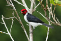 Red-capped Cardinal (Paroaria Gularis) Royalty Free Stock Images - 34051649