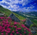 Flowers, Snow And Rocks Royalty Free Stock Photography - 34052147