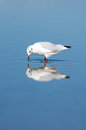 Gull In The Water Stock Photography - 34056122