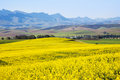 Canola Field, Garden Route, South Africa Stock Photo - 34060990