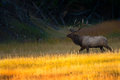 Bull Elk At Sunrise In Yellowstone National Park Stock Photography - 34081882