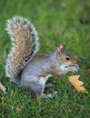 Grey Squirrel Stock Photo - 3413480