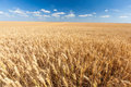 Golden Wheat Field Ready For Harvest With Blue Sky Royalty Free Stock Photography - 34118717