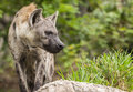 Spotted Hyenas Stock Photography - 34119882