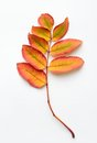 Yellow Leaves Of A Mountain Ash Stock Photos - 34120693