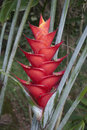 Tropical Flowers: Red Heliconia Stock Images - 34123754