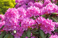 Blossoming Rhododendrons Stock Photo - 34180160