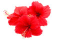 Red Hibiscus Royalty Free Stock Photos - 34185258