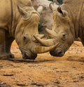 Two Rhino Locking Horns Royalty Free Stock Photography - 34208937