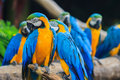 Blue-and-Yellow Macaw Stock Photography - 34247472