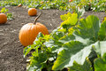 Pumpkin Patch Stock Photography - 34252042