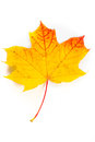 Autumn Maple Leaf Isolated On White Background Stock Images - 34256944
