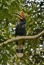 Rhinoceros Hornbill。 Royalty Free Stock Photos - 34263858