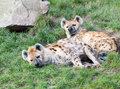 Two Young Sleepy Spotted Hyenas (Standing Spotted  Stock Photos - 34282303