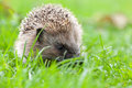 Hedgehog In The Grass Royalty Free Stock Images - 34296449