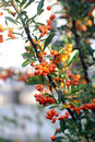 Sea Buckthorn Stock Photo - 34305690