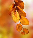 Fall Beech Branch Stock Image - 34330581