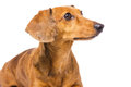 Dachshund Dog Looking At A Side Stock Image - 34336241